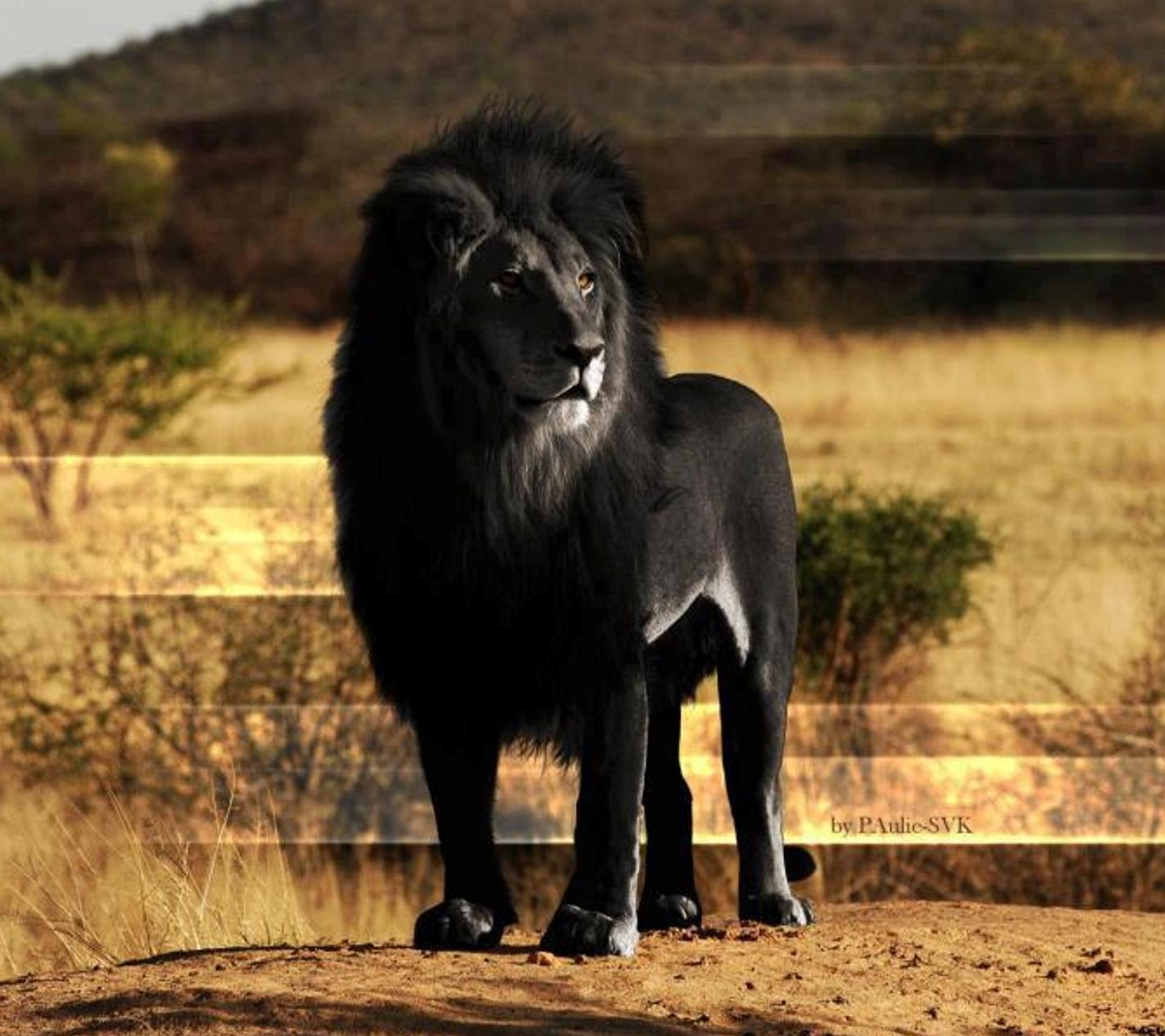 Black Standing Lion Dream Wallpapers