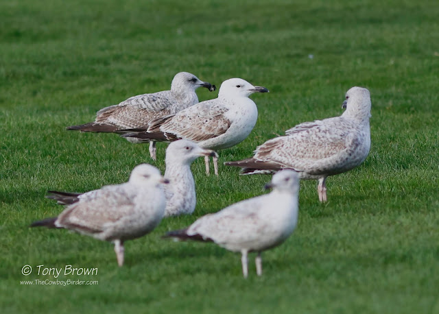 2CY Caspian Gull