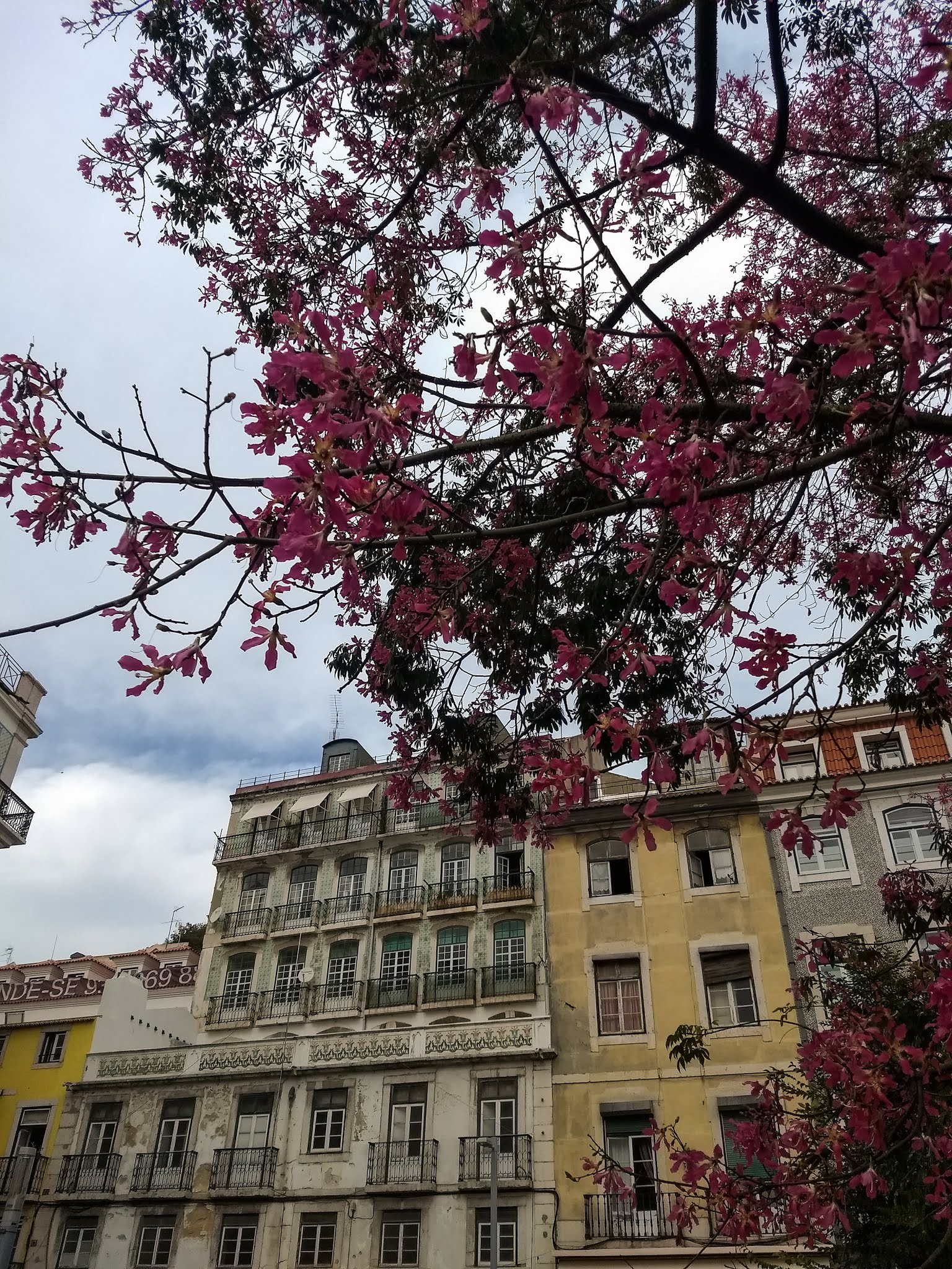 A flowering orchid tree in front of buildings in Liston, Portugal.