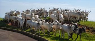 cattle herd in akure airport