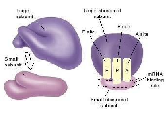 ribosom, ribosom sub unit kecil, ribosom sub unit besar, translasi protein,