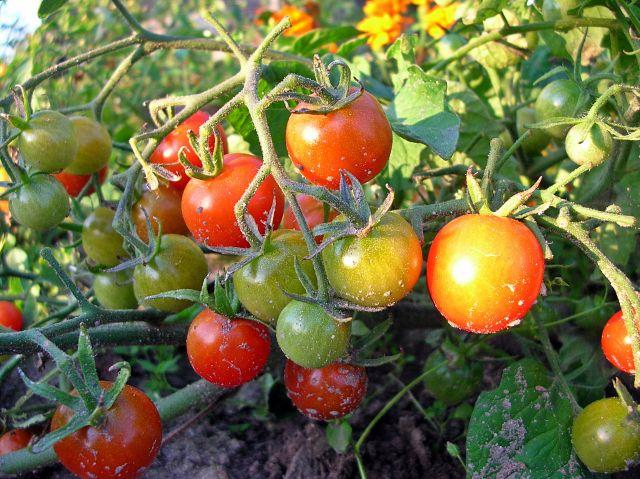 ogród, warzywa, koraliki, psiankowate