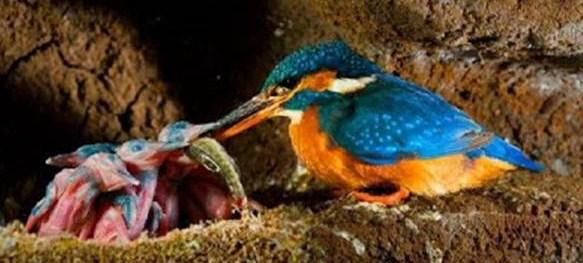 Cara Mengetahui Lokasi Sarang Burung Tengkek Udang Di Habitatnya Di Alam Bebas Burung Gacor Terus
