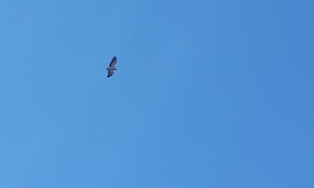 Cape Vulture soaring