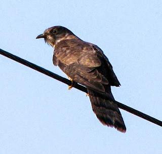 Cacomantis passerinus