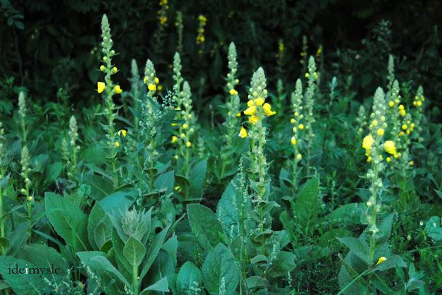 dziewanna drobnokwiatowa, verbascum thapsus, dzikie zioła lecznicze, jadalne kwiaty, great mullein, edible flowers