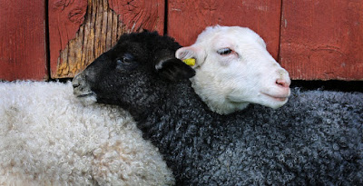 lamb sheep friends