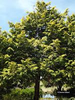Kawaka tree - Auckland Domain, New Zealand