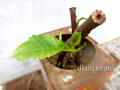 Stek Batang Simpur (Dillenia suffruticosa)