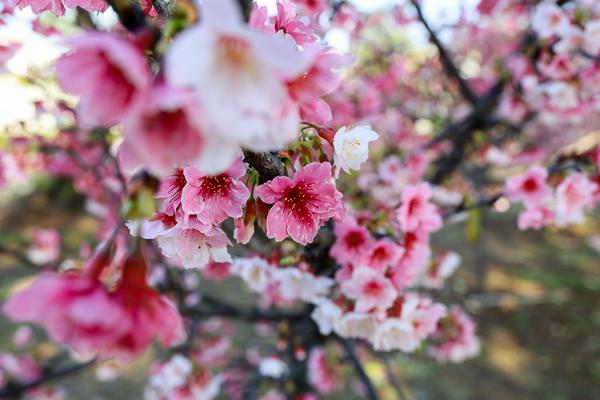 台中烏日湖日社區櫻花林,數十棵粉紅櫻花隧道,平地賞櫻好去處
