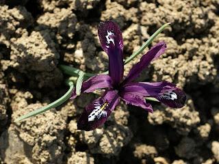 Iris reticulata 'Pauline'  (Horticole)