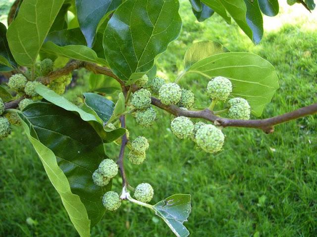 Quả xanh Cây Mỏ Quạ - Cudrania tricuspidata - Nguyên liệu làm thuốc Đắp vết thương Rắn Rết cắn