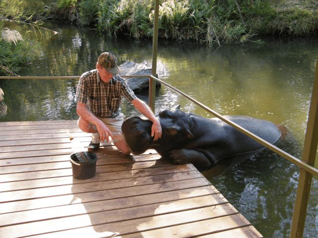 Мужчина спас гиппопотама, а животное отплатило ему большой любовью