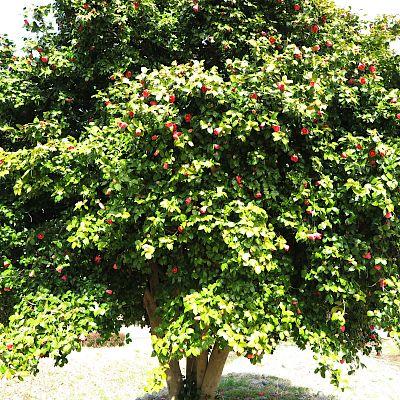 2020椿の大木