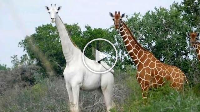 Уникални бели жирафи бяха убити от бракониери (ВИДЕО, СНИМКИ)