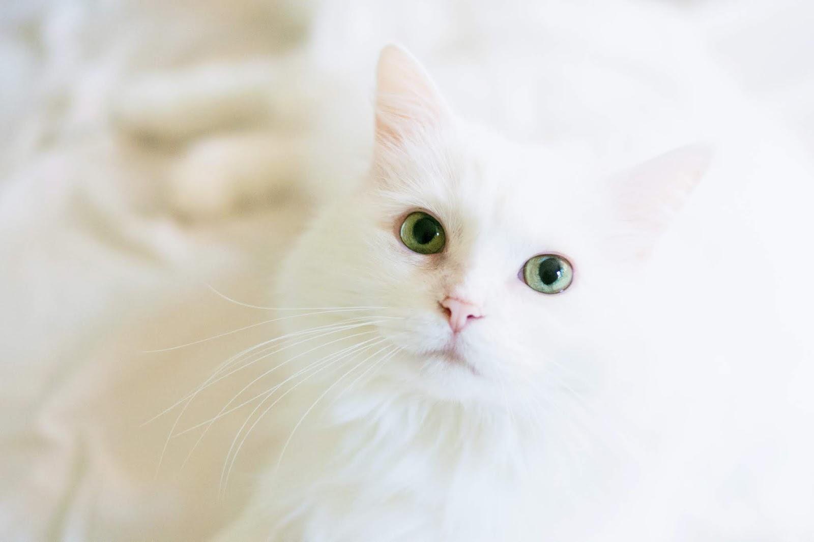 long-fur-white-cat,cat images
