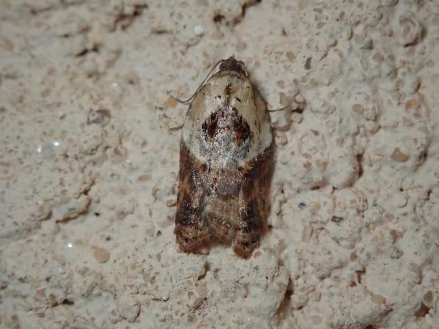 Acleris variegana