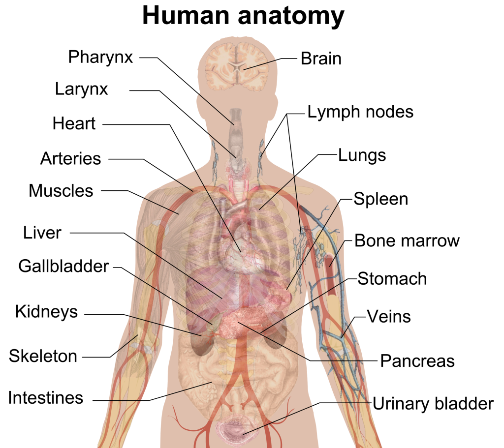 best Anatomia Del Cuerpo Humano En Ingles image collection
