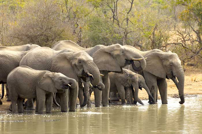Is It True That Elephants Never Forget