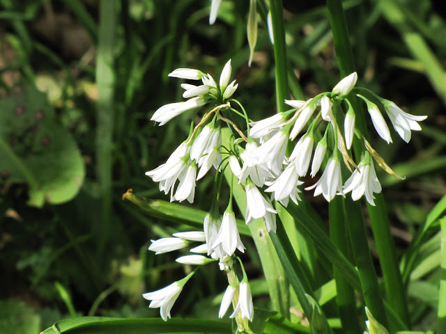 white-flower-onion