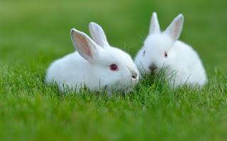 تفسير مشاهدة الأرنب الأبيض في الحلم