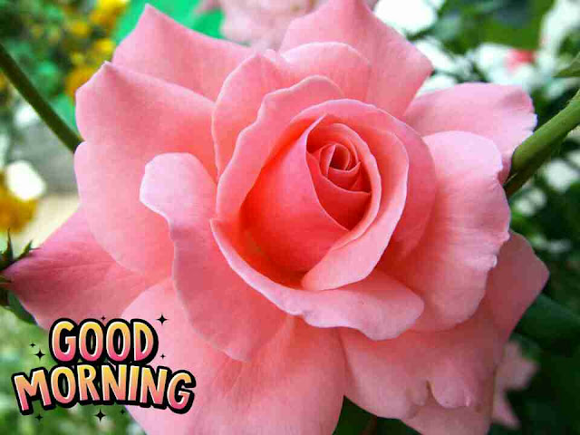 Beautiful good morning photo with pink rose flowes
