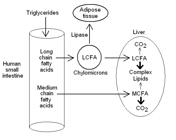 fatty acids digestion