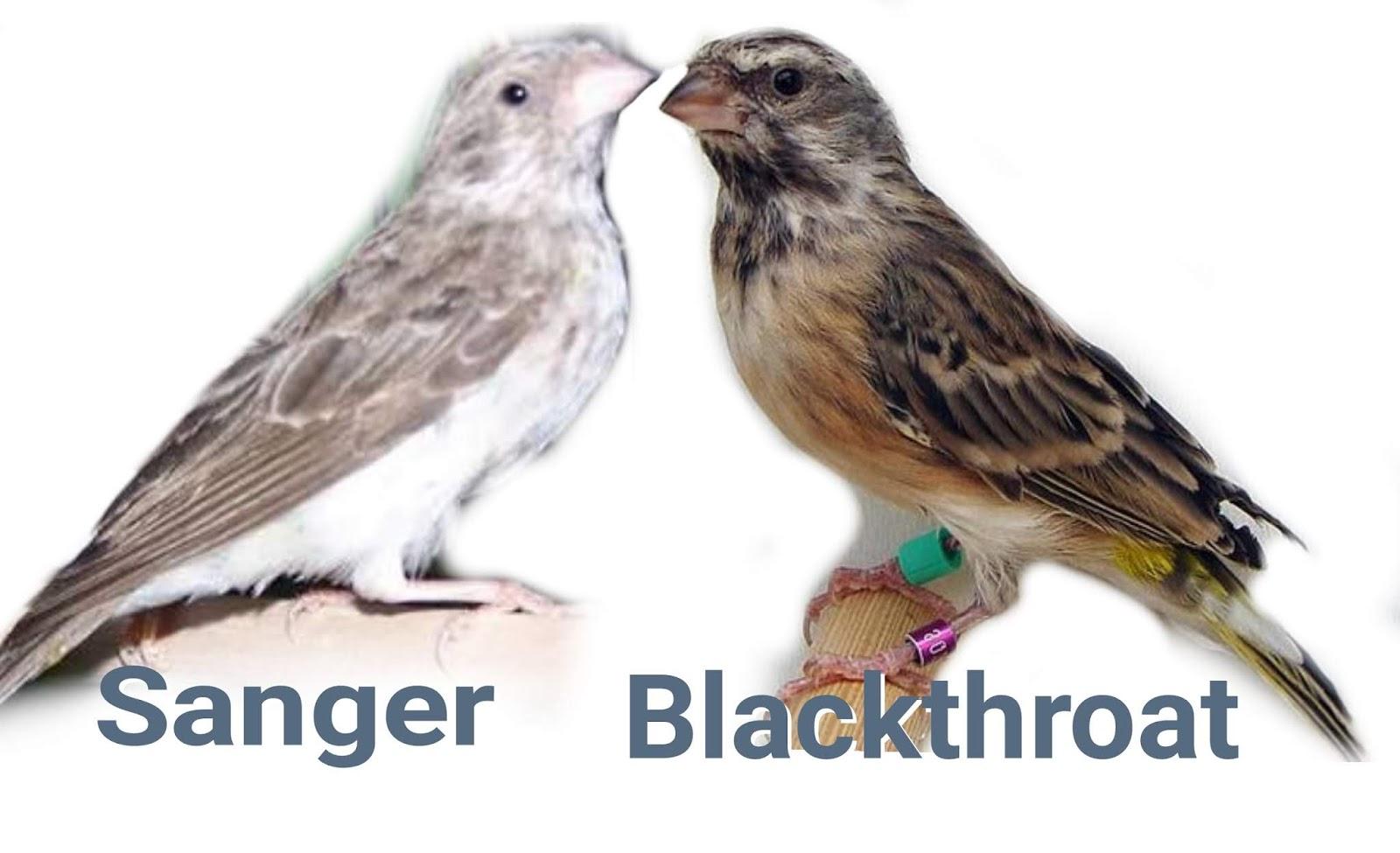 Perbedaan Blackthroat Dan Sanger Gaco Gacor