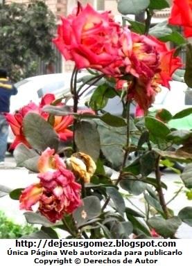 Foto de rosas maltratadas y sin cuidado por Jesus Gómez