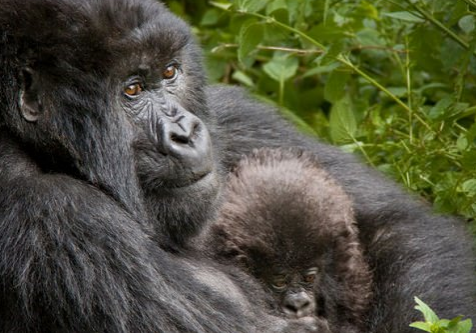The natural life in the Virunga mountains
