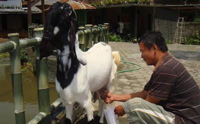 Ternak Kambing, Peternakan, Beternak Kambing etawa untuk perah susu, Budidaya kambing perah, Budiaya kambing etawa untuk perah susu, Kunci sukses beternak kambing etawa,