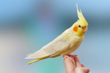 Cockatiel care