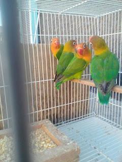 harga lovebird hijau standar josan