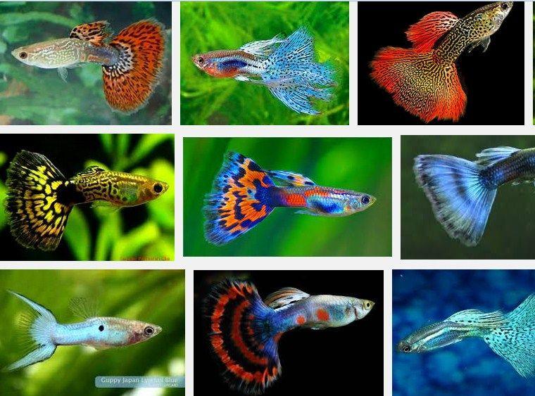 ikan guppy termahal