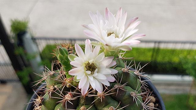 ดอกของแคคตัสยิมโน