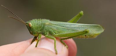 Zoniopoda crenata