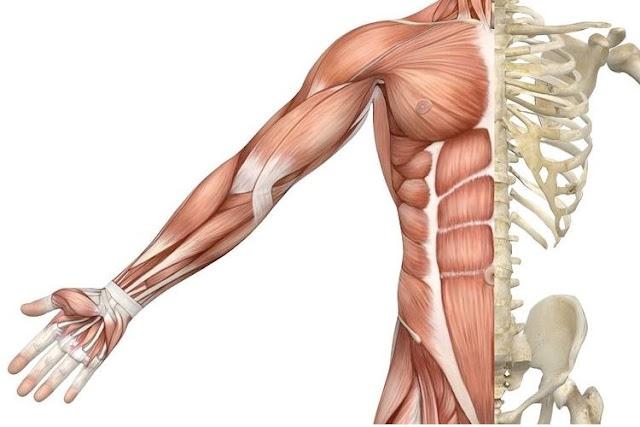 Otot manusia