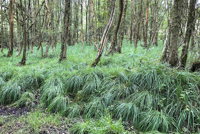 Woodland grass.  19 August 2018