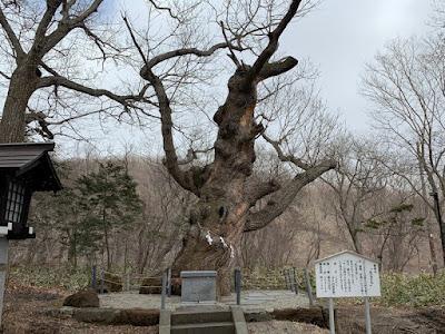 湯泉神社の御神木