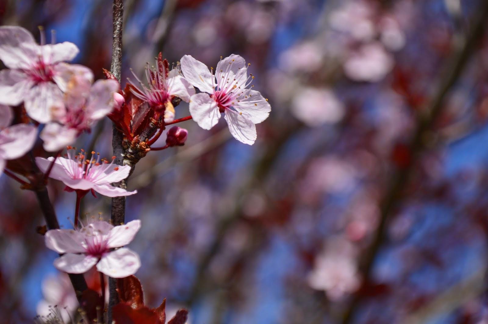 Fleurs de prunier, Belle-Ile-en-mer