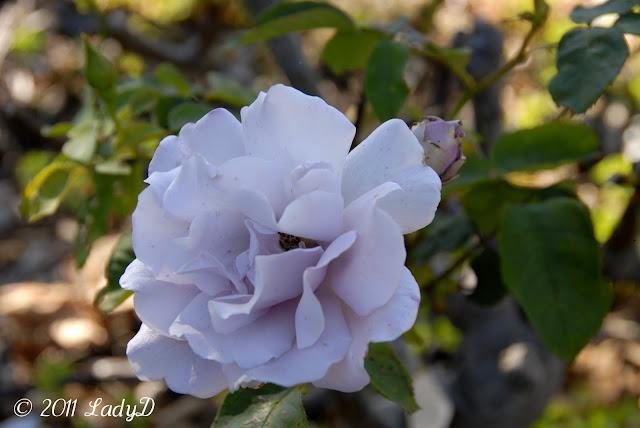 Violet Rose: LadyD Books