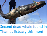 http://sciencythoughts.blogspot.com/2019/10/second-dead-whale-found-in-thames.html
