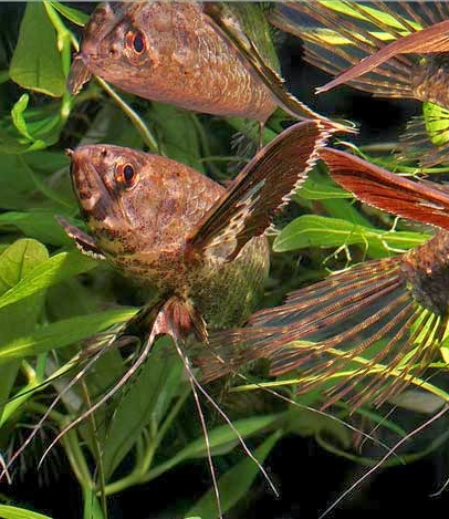 cá hồ điệp sống khỏe trong hồ thủy sinh