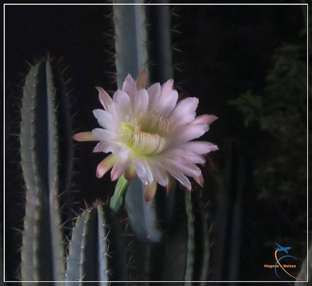 Flor de Cactus - Dama da Noite