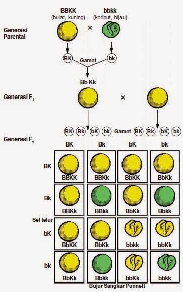 Percobaan Dihibrid dan Hukum Mendel II