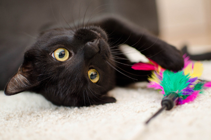 black cat lying upside down holding a multi-coloured feather toy
