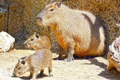 Crías de capibara