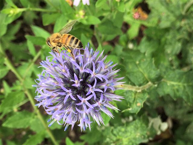 Biene auf Kugeldistel
