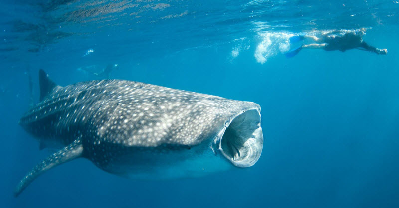 Whale Shark The biggest Shark