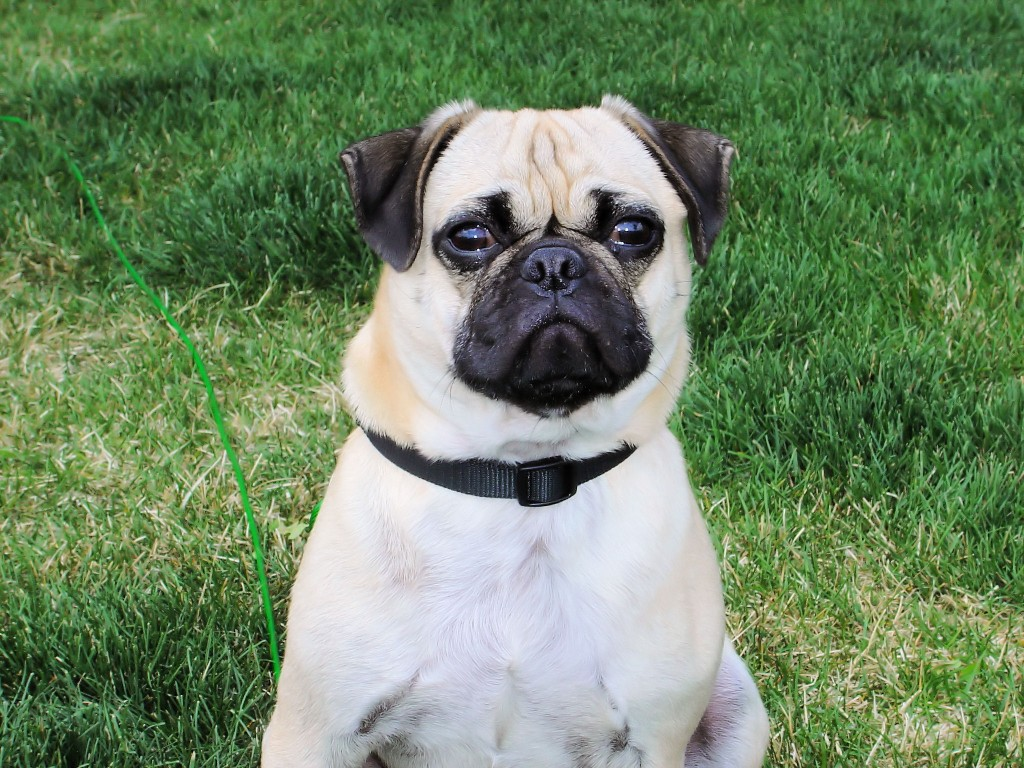 Cute Pug Wallpapers For Iphone Pug Dog